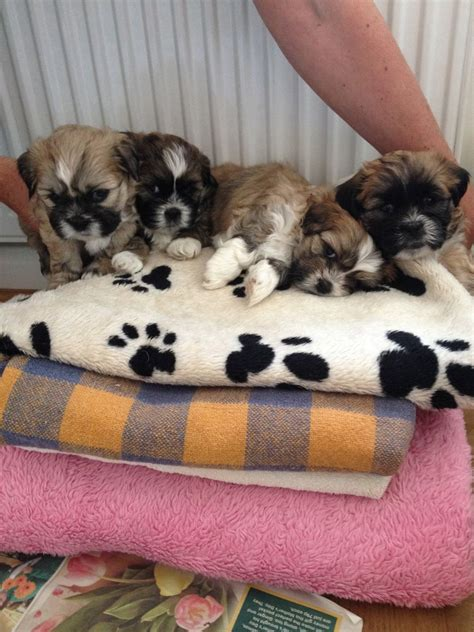 shih tzu x lhasa apso puppies shih tzu x lhasa apso puppies plymouth pets4homes