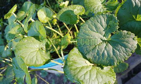 khasiat  manfaat daun pegagan