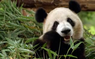 Bamboo Faucet Cute Baby Panda Wallpaper 1024x768 58287