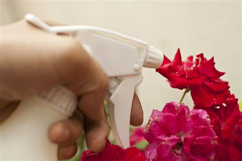 how to grow healthy roses by controlling powdery mildew 4 steps