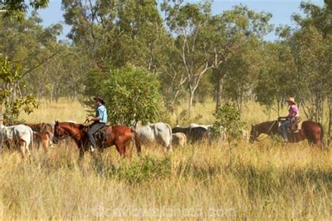 australian cattle cowboys cattle mustering victoria highway northern territory