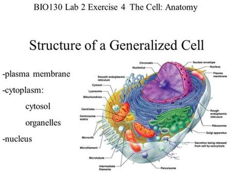 Funky The Cell Anatomy And Division Exercise 3 Crest - Image of ...