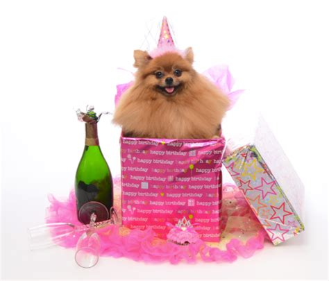 pomeranian birthday celebrate your birthday in style bow wow shoppe grooming san diego