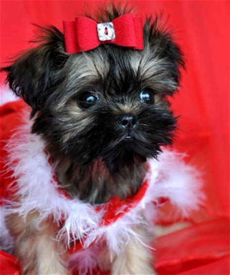 teacup brussels griffon puppies for sale s closet s closet
