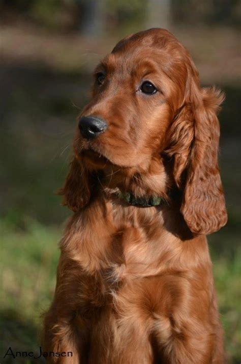 658 best i love irish setters other setters too images 658 best i love irish setters other setters too images