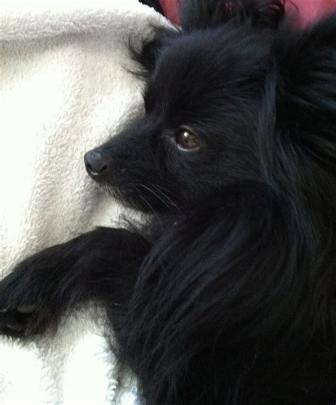baby black pomeranian 17 best images about pomeranians on boo puppy pomeranian dogs and teacup