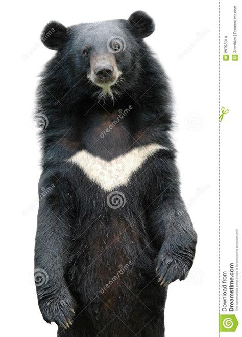 asiatic black bear stock images image