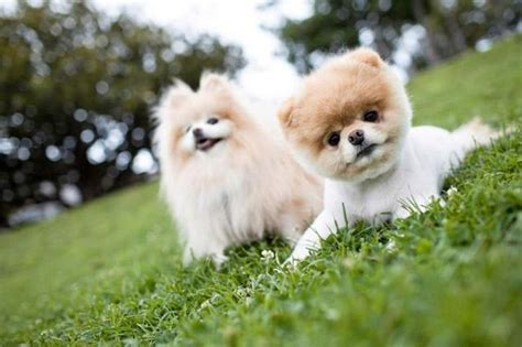 how much is pomeranian in philippines the top most beloved breeds worldwide photo gallery