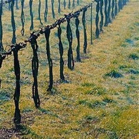potatura vite uva da tavola potare le viti giovani tecniche di giardinaggio
