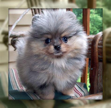 blue teacup pomeranian past puppies one poms poms