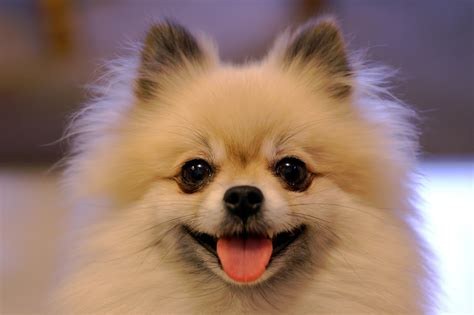 mad pomeranian which one is it a shiba inu or a pomeranian makeup your mind gaaaaaaaaah