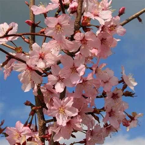 1 cherry tree brandesburton prunus spire flowering cherry tree mail order trees