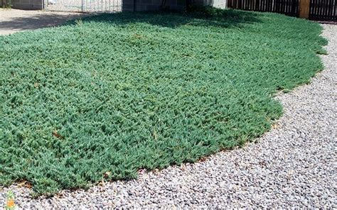 blue rug juniper for sale ground cover blue juniper the