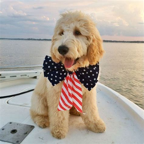 goldendoodle puppy guide 17 best ideas about goldendoodle haircuts on