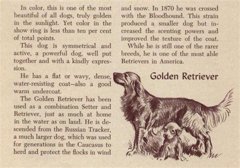 golden retriever description golden retriever vintage prints gifts and artwork from dogsonthenet