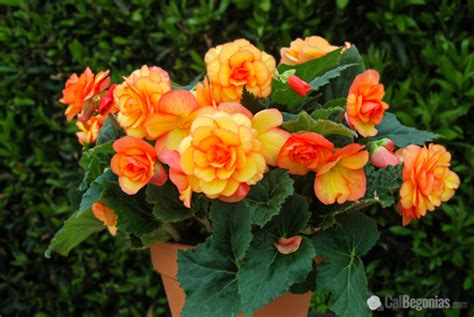Best Indoor Plants by How To Grow Begonias Tips On Growing Begonias From The