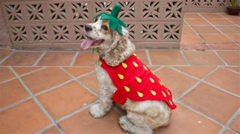 are strawberries bad for dogs 15 diy costumes shelterness