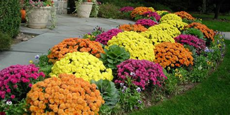 how to plant garden mum chrysanthemums in the ground from
