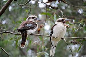 Call Of The Barn Owl Laughing Kookaburra Habitat Diet Amp Reproduction Nsw