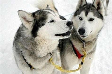how much do husky puppies cost sled dogs