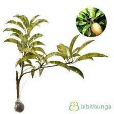 Bibit Tanaman Kenitu Genitu Ungu tanaman sawo jumbo bibitbunga