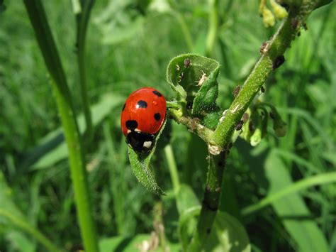 Garden Apartments Bugs How To Introduce Ladybugs Into The Garden Or The Cutest
