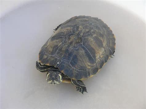 lade per tartarughe d acqua dolce tartarughe d acqua dolce abbandonate in mare