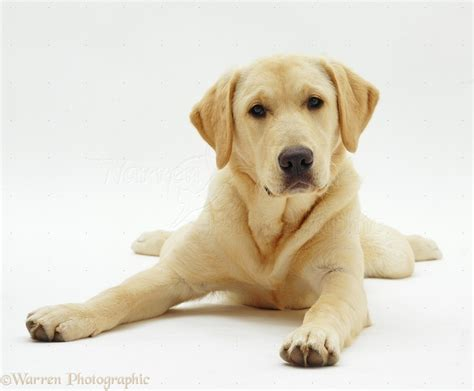 golden retriever and lab puppies 2017 charming golden retriever labrador puppies for sale pictures images