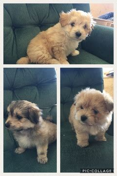pomeranian puppies for sale in minnesota view ad morkie puppy for sale minnesota mcgregor usa