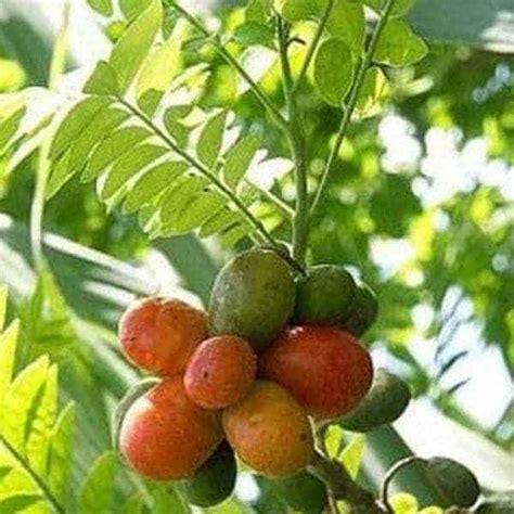 jual bibit unggul tanaman kedondong merah ambarella