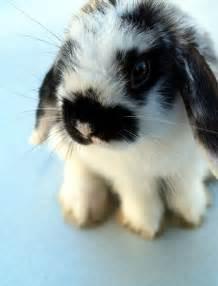 cute floppy ear bunny images