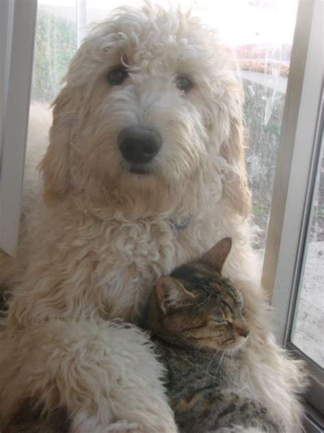 goldendoodle teddy bear cut 1000 images about goldendoodle on pinterest