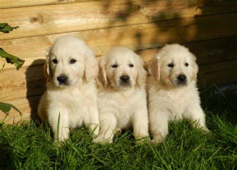 white golden retriever puppies price the about white golden retrievers pethelpful