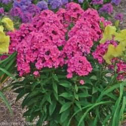 Tall Phlox Flowers - phlox glamour new tall garden perennial bright