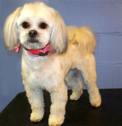 shih tzu poodle mix haircut shih tzu maltese mix haircuts www imgkid the image kid has it