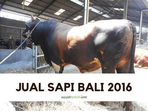 Sapi Qurban 2017 Murah Berkah keidgi jual sapi bali 2016 aqiqah peduli qurban