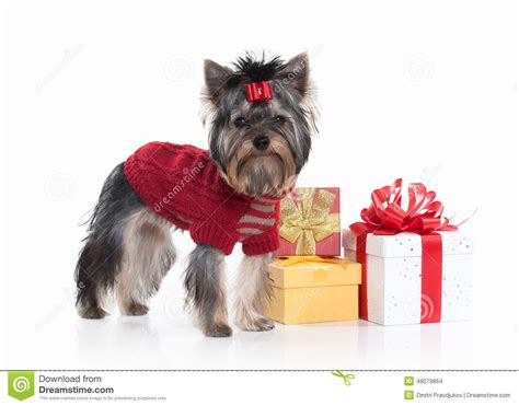 yorkie gift yorkie puppy with gift boxes on white background stock photo image 48079864