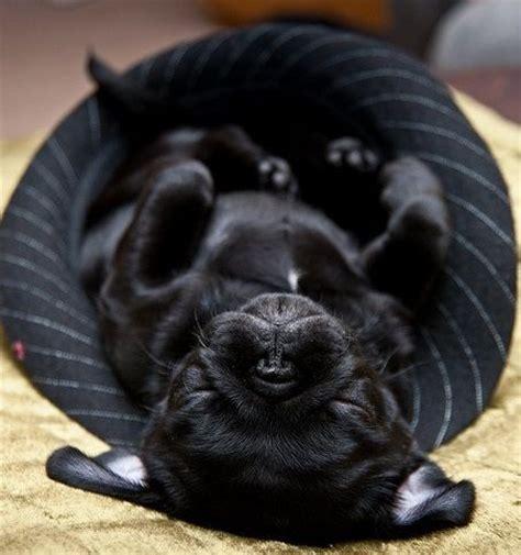 do puppies sleep through the 25 best ideas about black pug puppies on black pug puppy pug puppies and