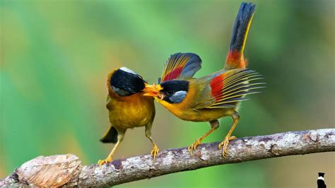 full hd birds feeding each other nature animals birds