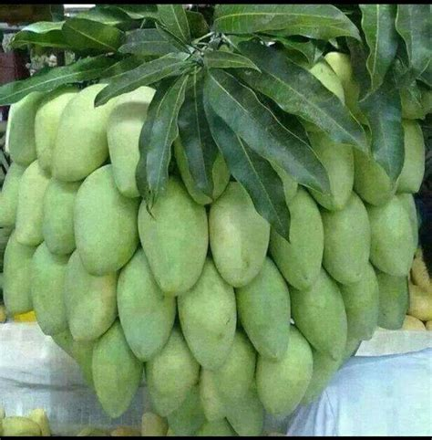 Dijamin Bibit Pohon Tin Buah Tin Green mango de wepa isla el