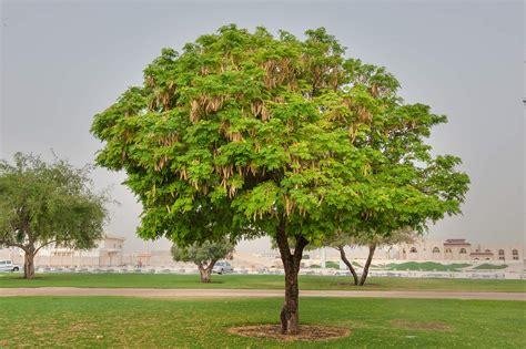 photo 1587 20 albizia lebbeck tree with fruits in aspire park doha qatar