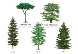 define tree plants gardening plants conifer examples of conifers image visual dictionary online