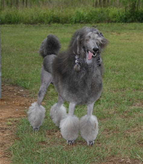 silver standard poodle puppies poodle standard for sale breeds picture