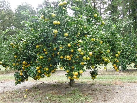 what is the fruit of the tree of plantinfo