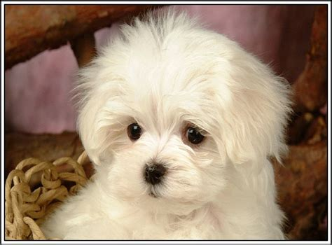 ebay puppies pack of4 maltese puppy dogs puppies stationery greeting notecards envelopes ebay