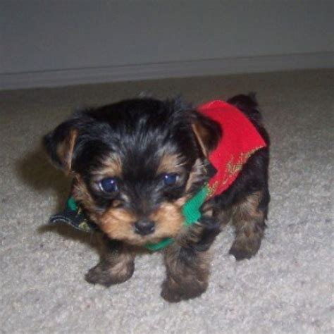 smallest yorkie in the world worlds smallest yorkie puppy yorkies