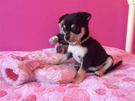 black and white chihuahua puppies black and white chiwawa puppies www imgkid the