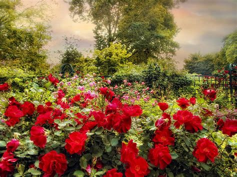 Home Decor Wallpaper Online by Red Rose Garden Photograph By Jessica Jenney