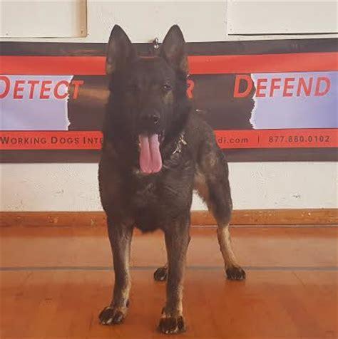 service dogs for sale official dea atf federally licensed enforcement center k9 handler