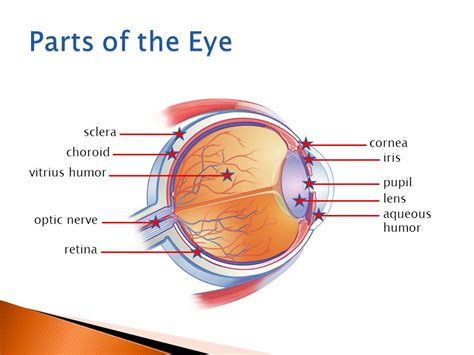 what part of the eye sees color ch 13 personal health care ppt
